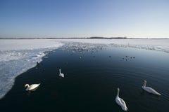 Patos y cisnes en el lago a medias congelado Foto de archivo