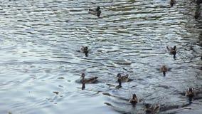 Patos y cisnes en la charca metrajes