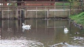 Patos y cisnes en la charca almacen de metraje de vídeo