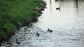 Patos y cisnes en la charca