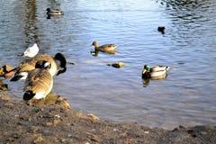 Patos y gansos en y alrededor del agua imagen de archivo
