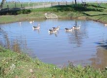 Patos y gansos en la charca Imagen de archivo libre de regalías