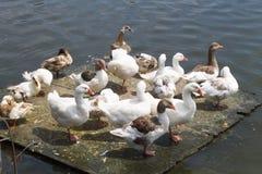 Patos y gansos en una plataforma flotante Fotografía de archivo