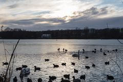 Patos y gansos que nadan en agua fría del lago en siluetas de la puesta del sol imagenes de archivo