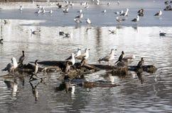 Patos y gaviotas Foto de archivo libre de regalías