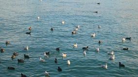 Patos y gaviotas que nadan en el mar metrajes