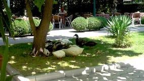 Patos y grupo de los gooses metrajes