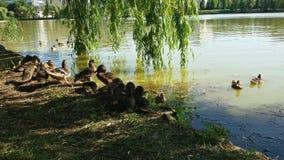 Patos y lago Imágenes de archivo libres de regalías