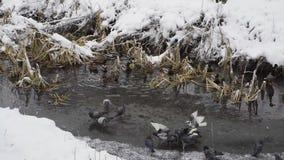 Patos y palomas de alimentación en cala en invierno metrajes