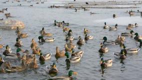 Patos y patos machos almacen de video