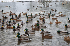 Patos y patos machos en el lago concentración grande Fotos de archivo libres de regalías