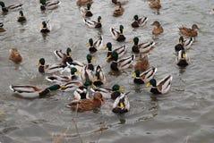 Patos y patos machos en el lago concentración grande Foto de archivo libre de regalías