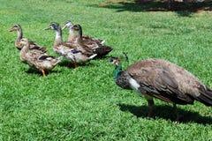 Patos y pavo real Foto de archivo libre de regalías