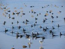 Patos y trullos en el lago Randarda, Rajkot, Gujarat Fotos de archivo