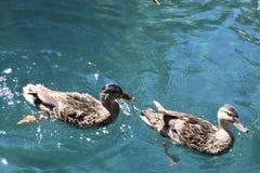 Patosu nadando, animales, zwierząt klepnięcia nurkuje zdjęcie stock