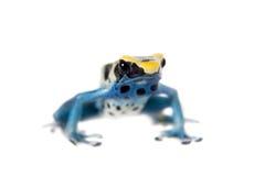 Patricia Dyeing Poison Dart Frog, Dendrobates tinctorius, on white Stock Image