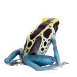 Patricia Dyeing Poison Dart Frog, Dendrobates tinctorius, on white Stock Photography