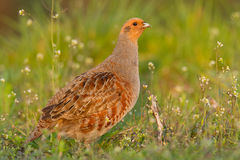 Patridge in a field royalty free stock images