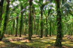 Patrimoine de palmier à huile Photo stock