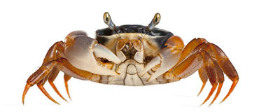 Patriot Crab, Cardisoma Armatum Royalty Free Stock Image