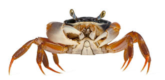 Patriot Crab, Cardisoma Armatum Royalty Free Stock Photography