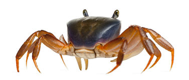 Patriot Crab, Cardisoma Armatum Royalty Free Stock Photo