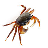 Patriot crab, Cardisoma armatum Stock Images