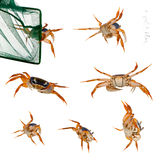 Patriot crabs, Cardisoma armatum. And net in front of white background Stock Photography