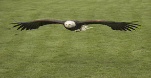 Patriotic. This beautiful Bald Eagle was captured at a Raptor centre in Hampshire, UK Royalty Free Stock Photo