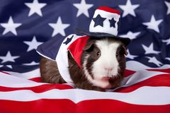 Patriotic American Guinea Pigs Cavia porcellus Royalty Free Stock Photography