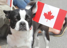 A Patriotic Canadian Boston Terrier Stock Image