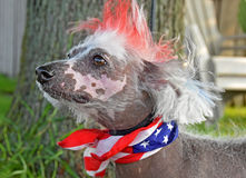 Patriotic Chinese Crested Hairless dog Royalty Free Stock Images