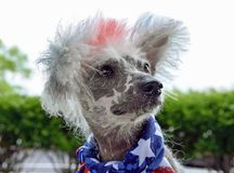 Patriotic Chinese Crested Hairless dog Royalty Free Stock Photography