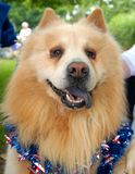 Patriotic Chow Dog. This was taken at our cities local Memorial Day Parade. Beautiful Chow with a neat purple dog Stock Images