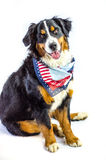 Patriotic Dog. Mabel, a Bernese Mountain Dog, is ready for the 4th of July. Independence day dog Stock Images