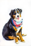 Patriotic Dog. Mabel, a Bernese Mountain Dog, is ready for the 4th of July. Independence day dog Royalty Free Stock Photo