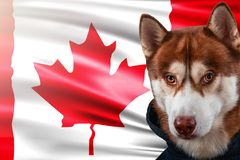 Patriotic dog proudly in front of the Canada flag. Portrait siberian husky in sweatshirt in the rays of bright sun. royalty free stock photo