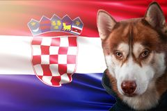 Patriotic dog proudly in front of Croatia flag. Portrait siberian husky in sweatshirt in the rays of bright sun. royalty free stock images