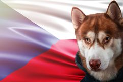 Patriotic dog proudly in front of Czech Republic flag. Portrait siberian husky in sweatshirt in the rays of bright sun. royalty free stock photography