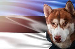 Patriotic dog proudly in front of Estonia state flag. Portrait siberian husky in sweatshirt in the rays of bright sun. stock image