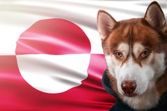 Patriotic dog proudly in front of Greenland state flag. Portrait siberian husky in sweatshirt in the rays of bright sun. royalty free stock images