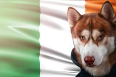 Patriotic dog proudly in front of Ireland flag. Portrait siberian husky in sweatshirt in the rays of bright sun. royalty free stock photo