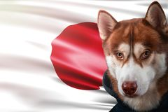 Patriotic dog proudly in front of Japan flag. Portrait siberian husky in sweatshirt in the rays of bright sun. stock images