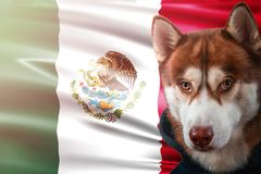 Patriotic dog proudly in front of Mexico flag. Portrait siberian husky in sweatshirt in the rays of bright sun. Patriotic dog proudly in front of Mexico state royalty free stock image