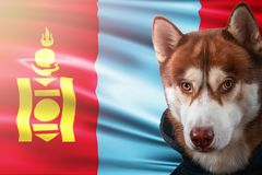 Patriotic dog proudly in front of Mongolia state flag. Portrait siberian husky in sweatshirt in the rays of bright sun. stock photos