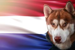 Patriotic dog proudly in front of Netherlands flag. Portrait siberian husky in sweatshirt in the rays of bright sun. stock images