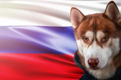 Patriotic dog proudly in front of Russia flag. Portrait siberian husky in sweatshirt in the rays of bright sun. Stock Photography