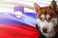 Patriotic dog proudly in front of Slovenia state flag. Portrait siberian husky in sweatshirt in the rays of bright sun. royalty free stock photos