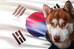 Patriotic dog proudly in front of South Korea flag. Portrait siberian husky in sweatshirt in the rays of bright sun. National celebration concept royalty free stock photos