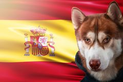 Patriotic dog proudly in front of Spain state flag. Portrait siberian husky in sweatshirt in the rays of bright sun. stock image
